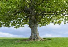 oak tree america